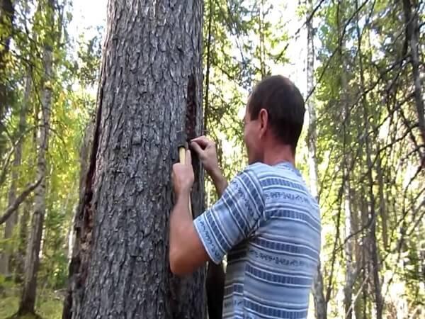 Как правильно заготавливать живицу ели