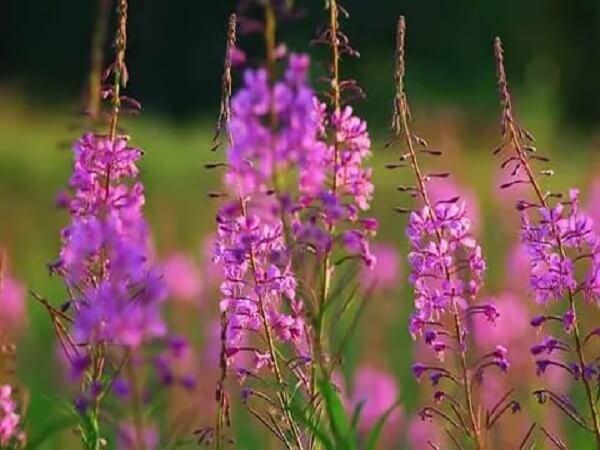 Копорский чай - фото