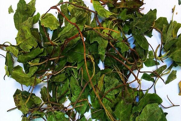 Трава боровой матки фото