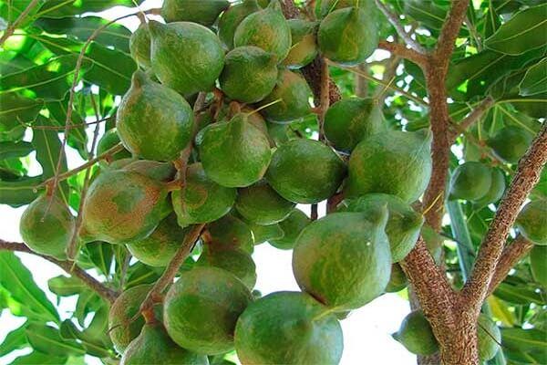 Макадамия дерево
