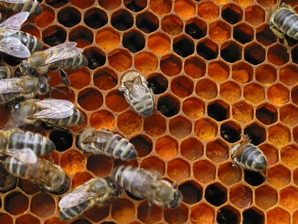 Перга пчелиная - фото