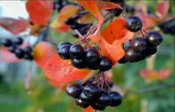 Черноплодная рябина фото