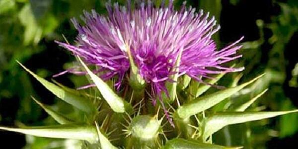 Растение расторопша