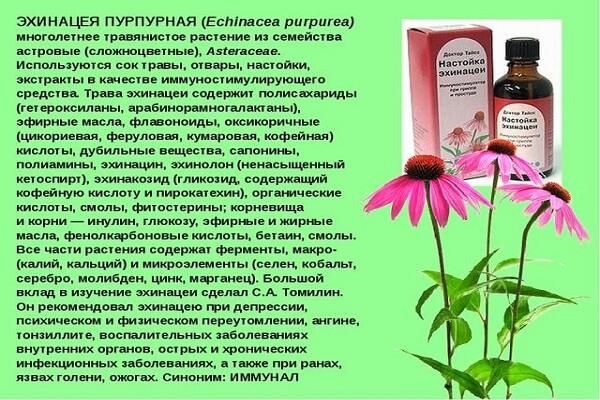 Лечебные свойства эхинацеи