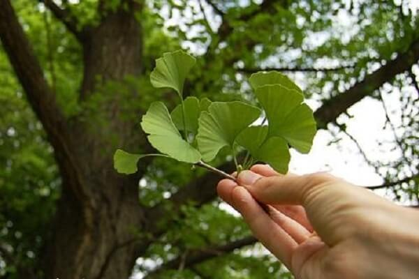 Гинкго Билоба дерево