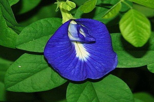 Цветки клитории
