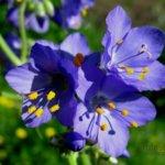 Синюха голубая фото