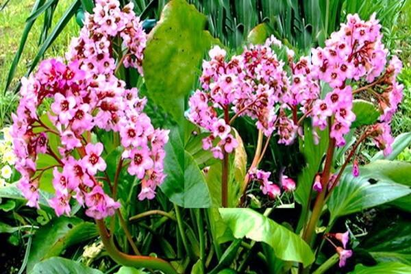 Бадан - растение